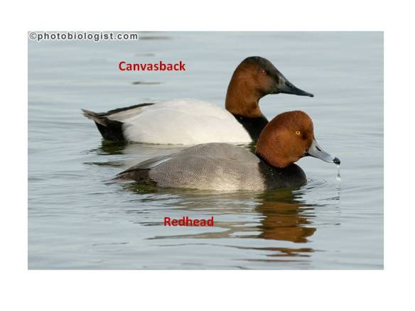 canvasback vs readhead-photobiologist.com
