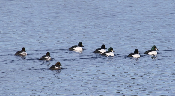 Common Goldeneye-Lake Vadnais-