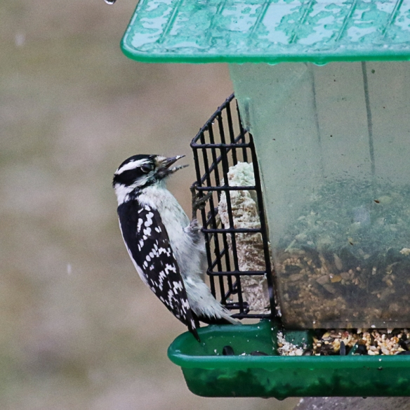 Downy Woodpecker-