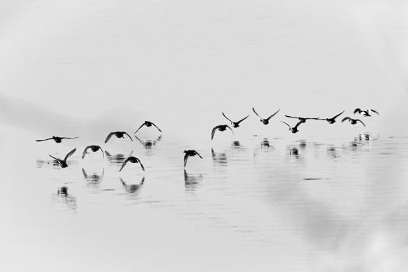 Hooded Mergansers flying-