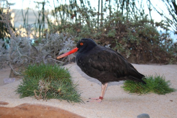 Black Oystercatcher, Monterey Bay Aquarium