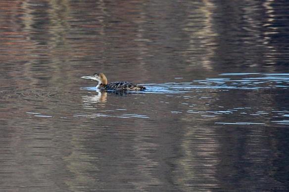 juvenile Common Loon-
