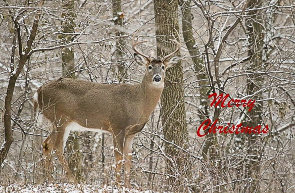 merry-christmas buck-