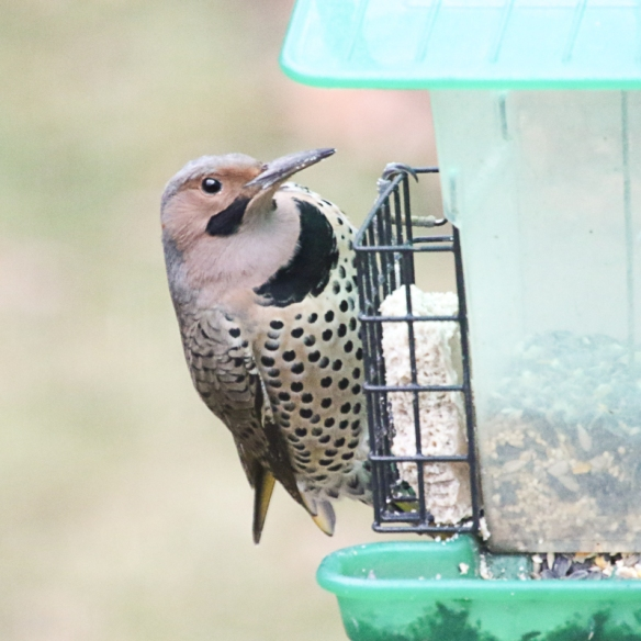 Northern Flicker-
