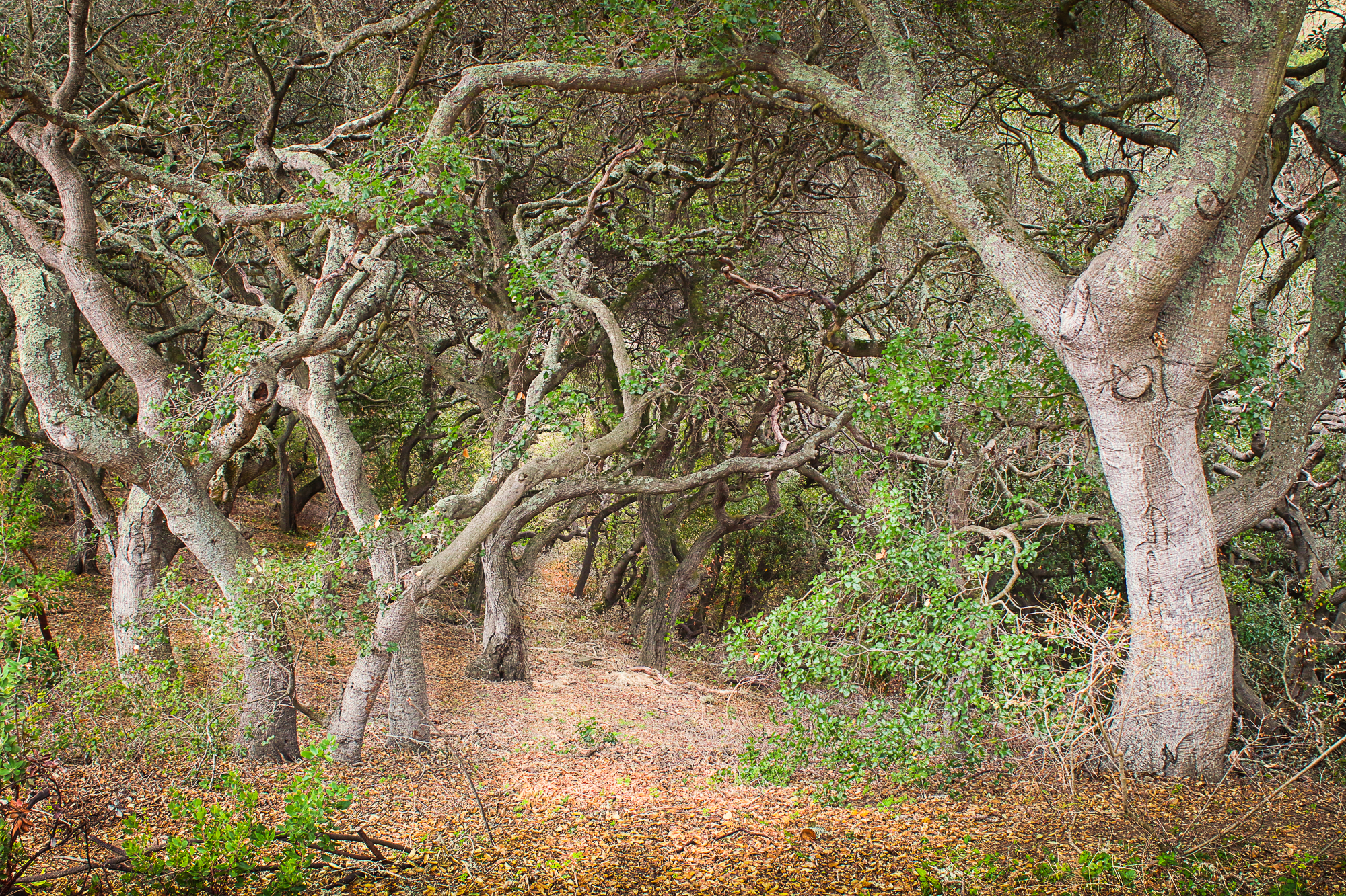 oak forest-berkeley botanical garden- | Back Yard Biology