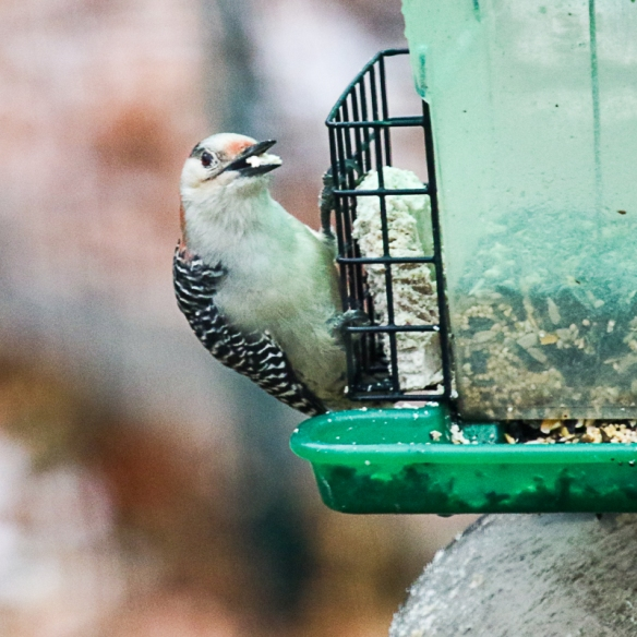 Red-bellied Woodpecker-