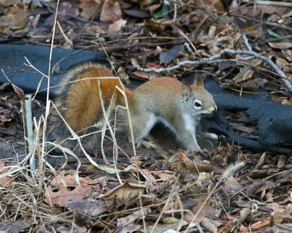 red squirrel tearing landscape cloth-2193