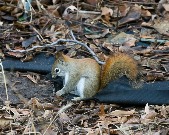 red squirrel tearing landscape cloth