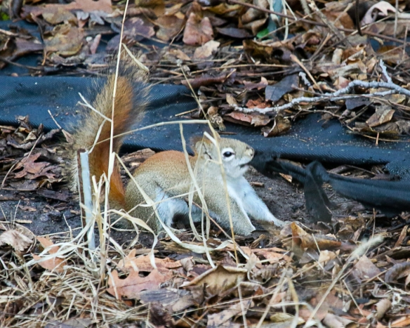 red squirrel tearing landscape cloth-