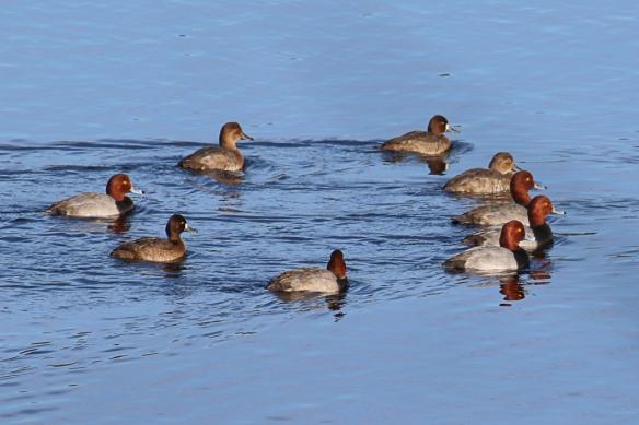 Redhead Ducks-Lake Vadnais
