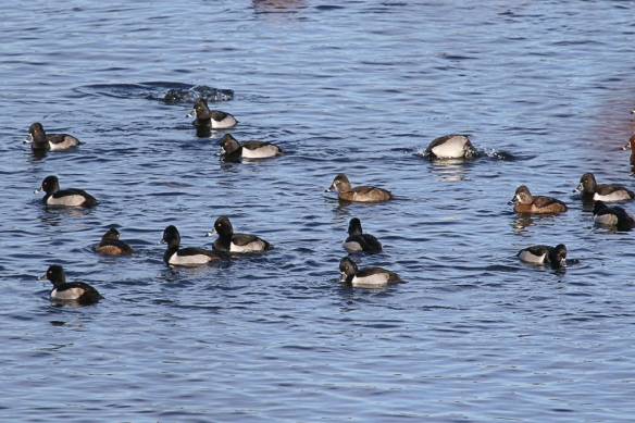 Ring-necked Ducks and Mallards feeding-