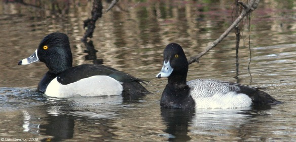 RNWR_ring-necked_duck_lesser_scaup_L. Topinka