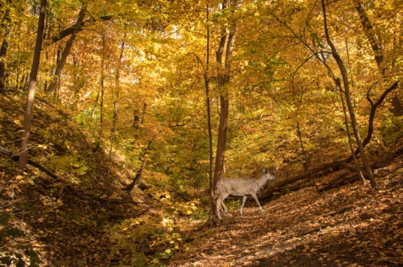 white-tailed-deer-in-fall-leaves-