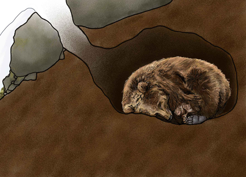 bear-in-den-illustration (nps.gov)