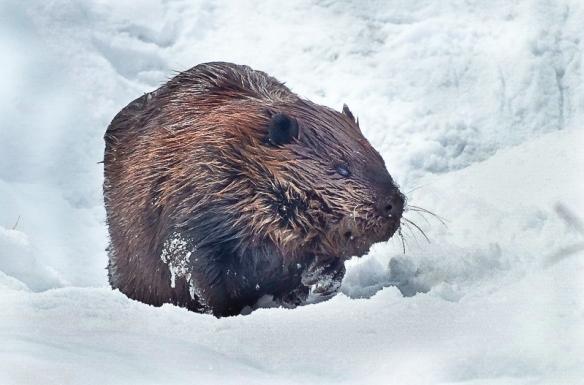beaver in snow-frametoframe.ca-