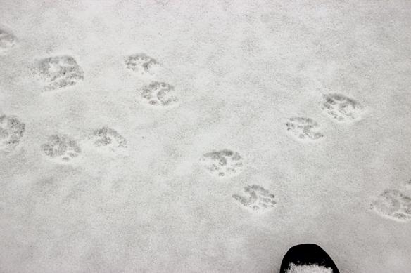 beaver tracks-