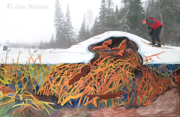 beaver lodge painting by Jennifer Garrett