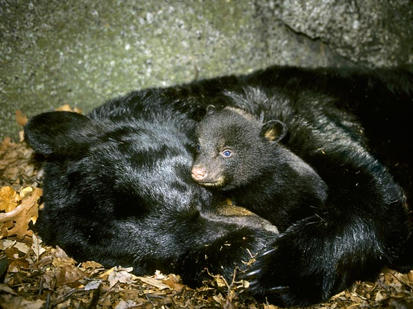 black-bear-hibernating - bearlakereserve.com