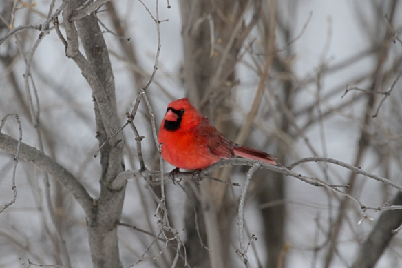 male Northern cardinal - wnter-