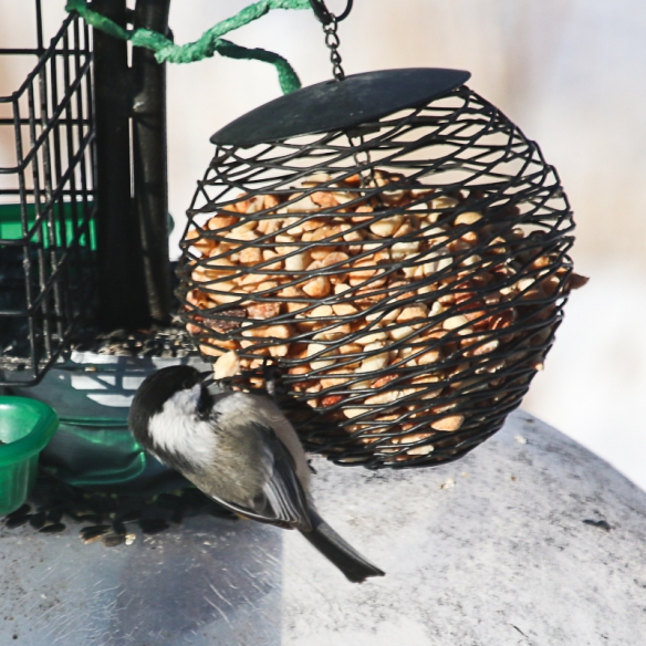 chickadee eating peanuts