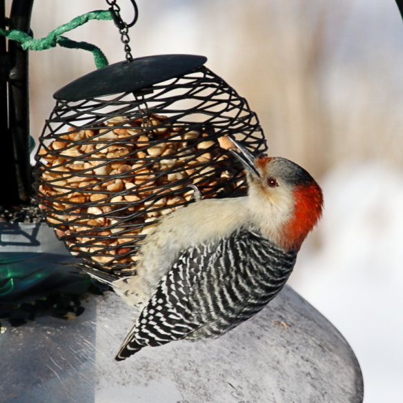 red-bellied woodpecker eating peanuts-
