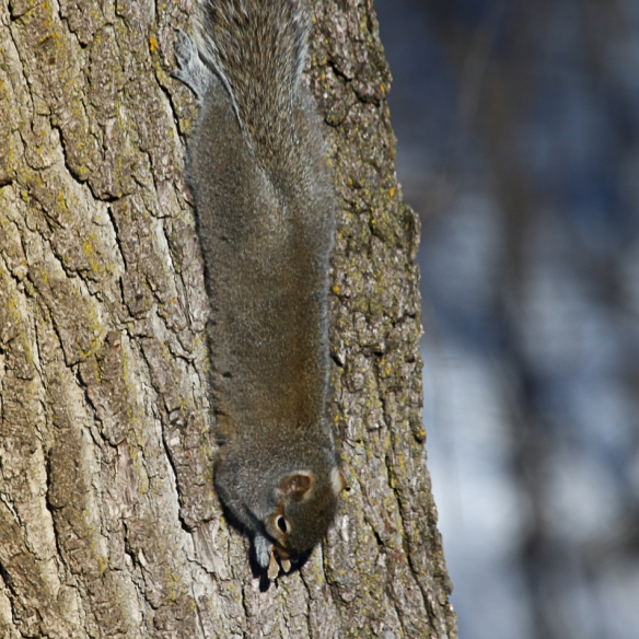 gray squirrel eating amur maple seeds-