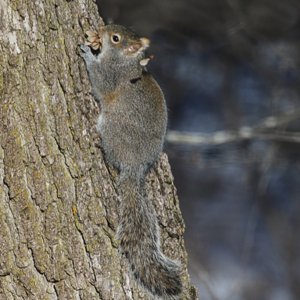 gray squirrel with amur maple seeds-
