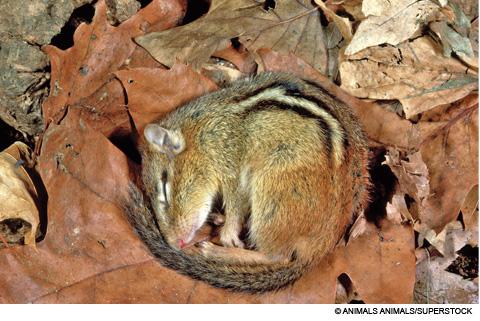 hibernating chipmunk-sni.schlastic.com