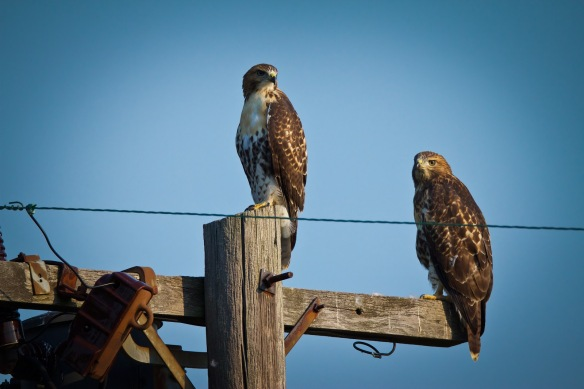 Red-tailed Hawks sitting on phone poles