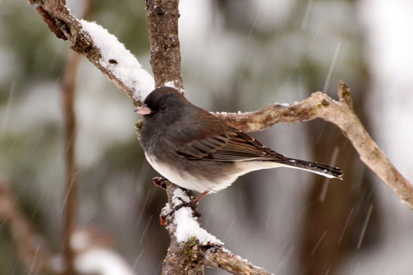 slate-colored-junco
