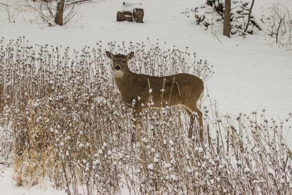white-tailed-buck-in-snow
