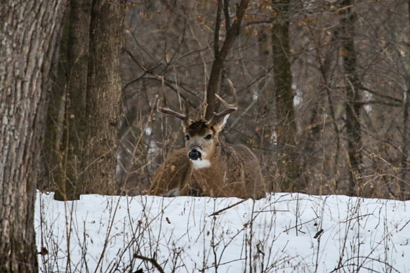 white-tailed buck resting