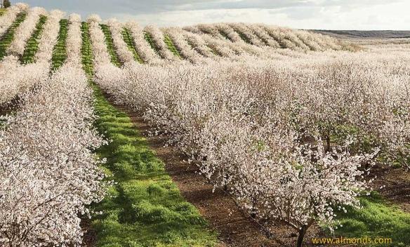almond orchard-almonds.com