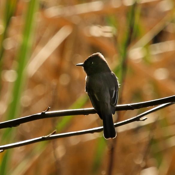 black phoebe-