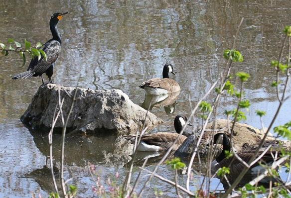 cormorant and canada geese-2724
