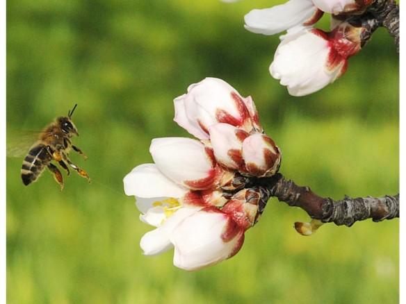 honeybee pollinating almond flower