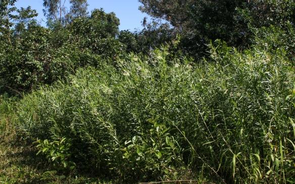 Kapalua golf course-balloon milkweed