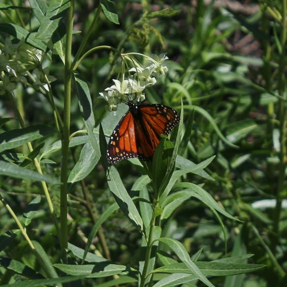 Kapalua golf course-Monarch butterfly on balloon milkweed