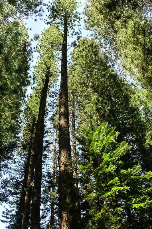 Kapalua golf course-Norfolk Island pine