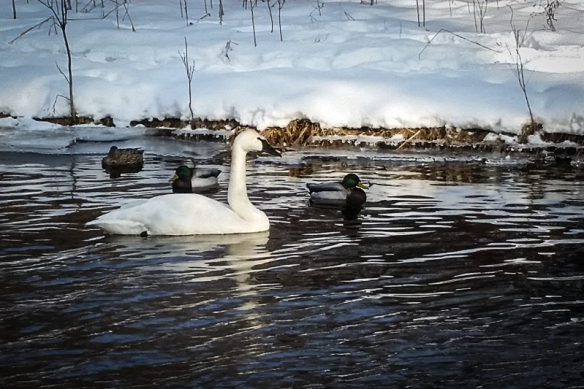 trumpeter swan-