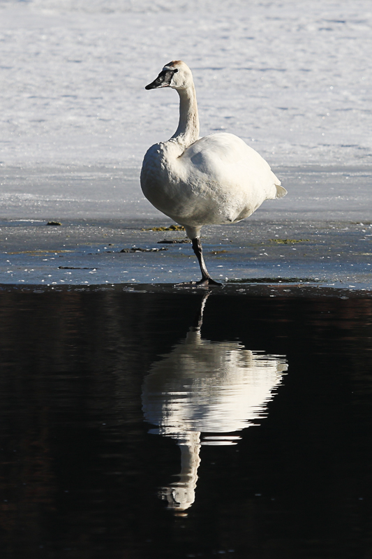 trumpeter swan-reflection-