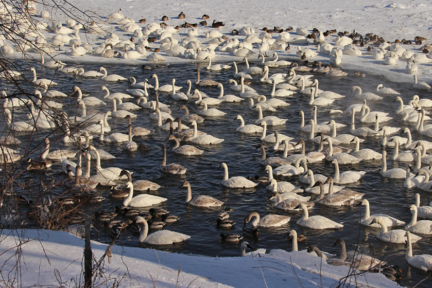 trumpeter-swans-on-the-mississippi-1