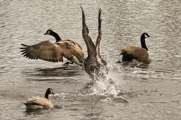 canada geese -
