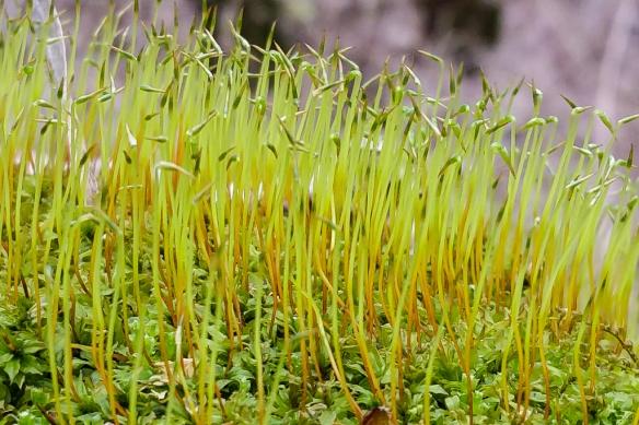 moss sporophyte capsules