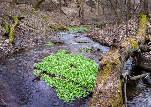 forest stream-watercress