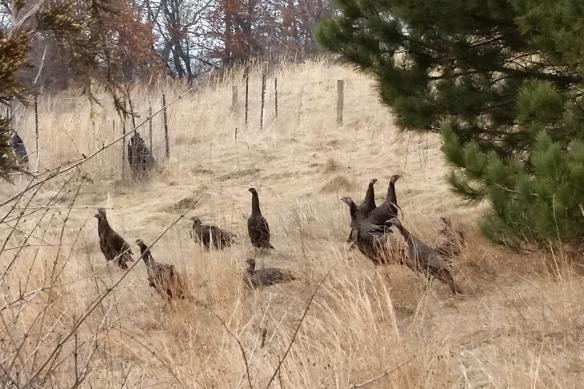 hen turkeys-tamarack nature center