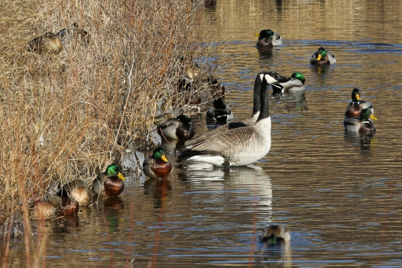 mallards and Canada Geese at Bass Ponds, MNNWR-