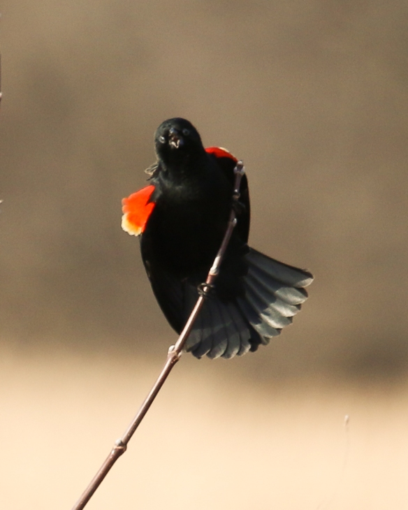 Quite a different posture in this bird, which flares his epaulets outward as he calls.