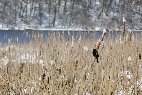 red-winged blackbird in a snowy marsh