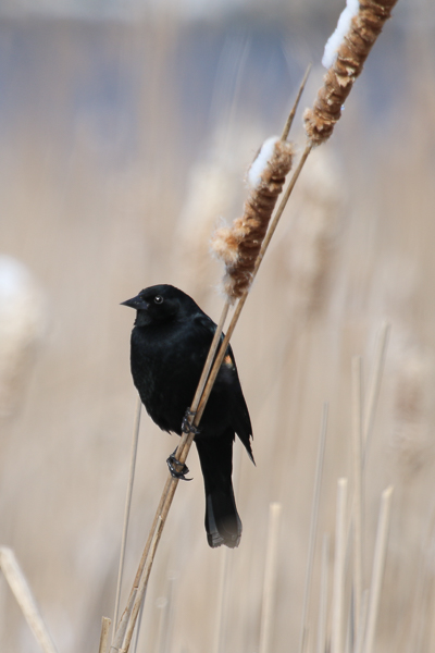 red-winged blackbird-4112